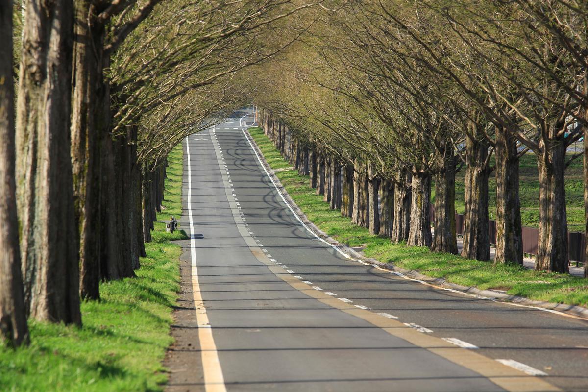 滋賀のメタセコイア並木の写真