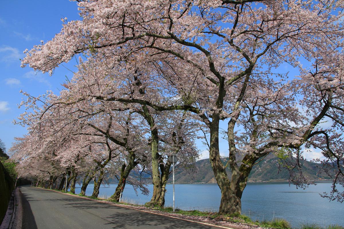 滋賀の海津大崎の写真